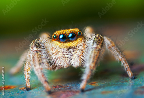Tela Jumping spider