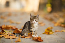 The Beautiful Kitten Plays With Fallen Leaves.