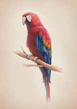 Watercolor Illustration Of A Macaw Bird
