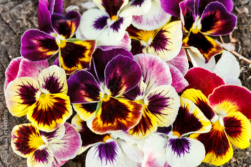 Papiers peints Pansies Different pansies