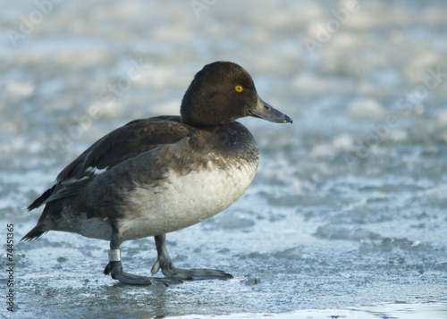 Photo  Tufted duck on the ice