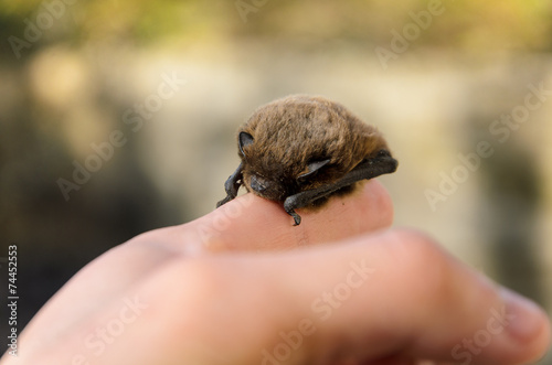 Pipistrellus pipistrellus