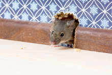 House Mouse  (Mus Musculus)   ...