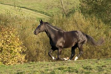 Schwarzes Pferd galoppiert über Koppel