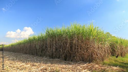 Fotografie, Obraz  Sugar cane field in blue sky