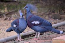 Western&victorian Crowned-pigeons