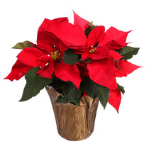Red Poinsettia Flower Isolated...