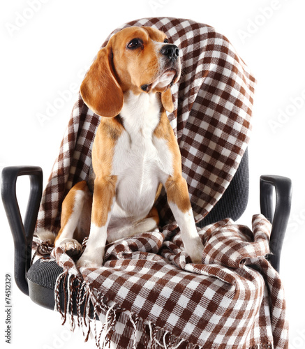 Deurstickers Franse bulldog Beagle dog on chair with plaid isolated on white