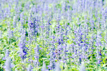 Mealy Cap Sage Or Blue Salvia (Salvia Farinacea Benth.) Flowers Field Background.