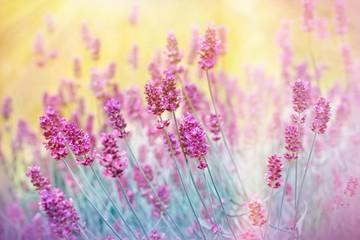 Obraz na SzkleBeautiful lavender in flower garden