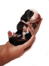 Mountain Dog Puppy In Hands On A White Background
