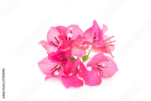 Fényképezés Pink blooming bougainvilleas isolate on white background