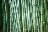 Zielone bambusy