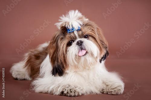 Shih Tzu Dog On A Brown Background Kaufen Sie Dieses Foto Und
