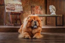 Dog Breed  Chow Chow