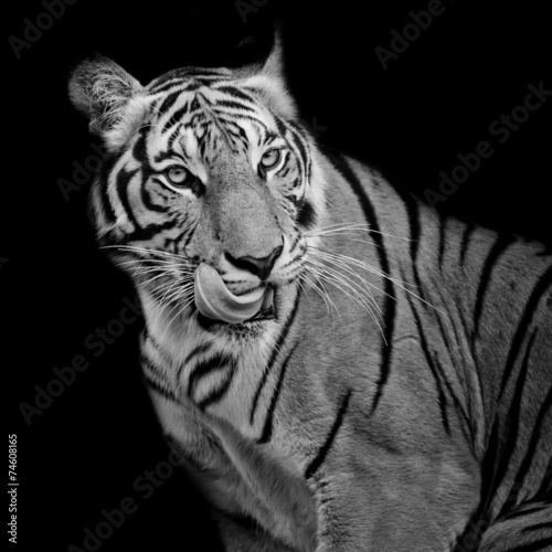 Fotomurales - Black and White Tiger hungry