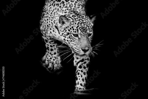 close up black and white Jaguar Portrait #74608350