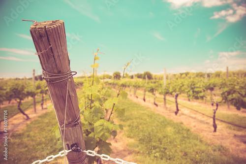Fotografie, Obraz  Vintage tone vineyard