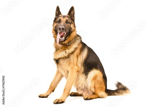 Valokuva German Shepherd dog