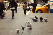 Pigeons On New York Street, USA