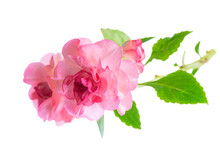 Blooming Beautiful Twig Of Pink Impatiens Flowers Is Isolated On