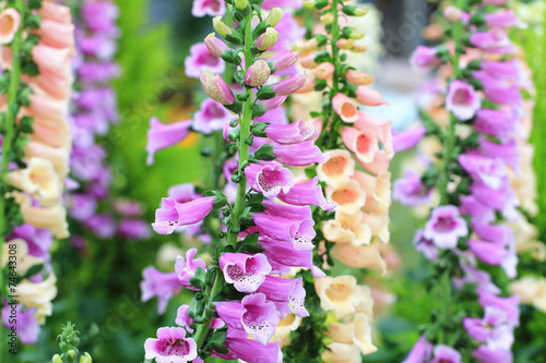 Common Foxglove flowers and buds Wallpaper Mural