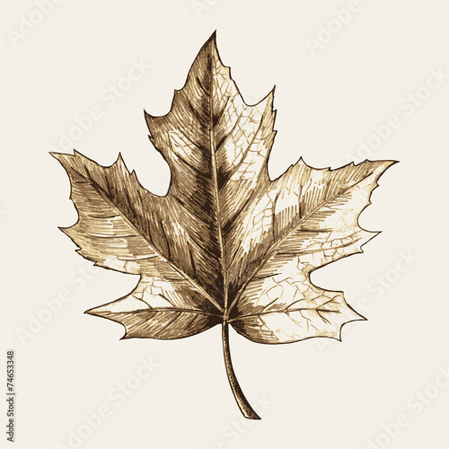 Photo  Sketch illustration of a maple leaf