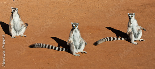 Group of Ring Tailed Lemurs in the Morning Sun Wallpaper Mural