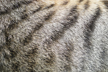 Close-up Of Tabby Cat Fur Texture Background