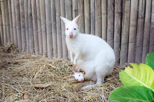 Fotografie, Obraz  Albino Wallaby with baby