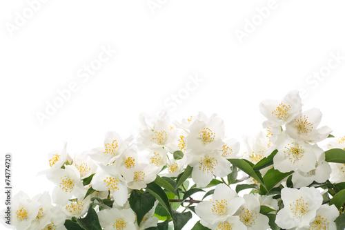 Poster de jardin Nénuphars jasmine white flower