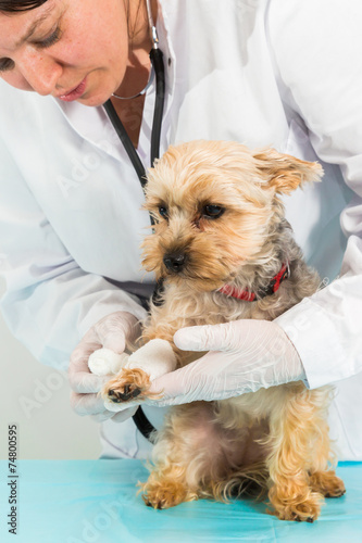 tierärztin behandelt süßen hund - 74800595