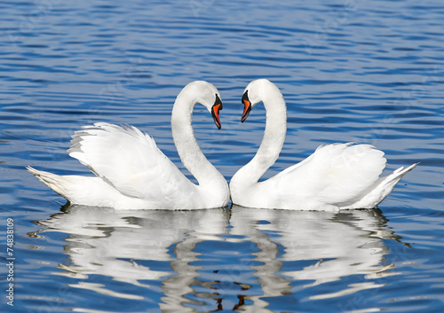 Photo sur Toile Cygne pair of white swans