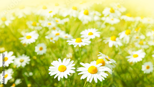 Tuinposter Madeliefjes Daisies flowers field