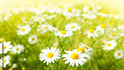 Foto op Aluminium Madeliefjes Daisies flowers field