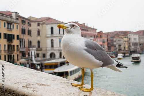 Valokuva  Curious Albatross at Rialto Bridge Venice Italy