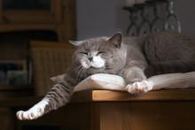 British Kurzhaar Katze Erwacht Auf Dem Tisch