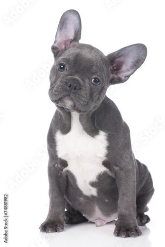 Foto  Niedliche Französische Bulldogge, Welpe