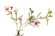 wax flower isolated