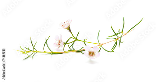 Fototapeta wax flower isolated obraz