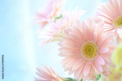 ピンクのガーベラ Fototapeta