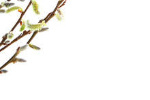 Catkins Willow Branch Easter I...