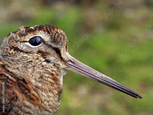 Fényképezés  close-up of dead woodcock