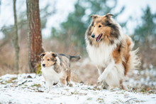 Rough Collie Mother Playing Wi...