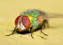 Green Bottlefly
