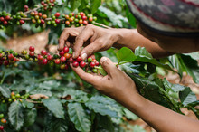 Arabica Coffee Berries With Ag...