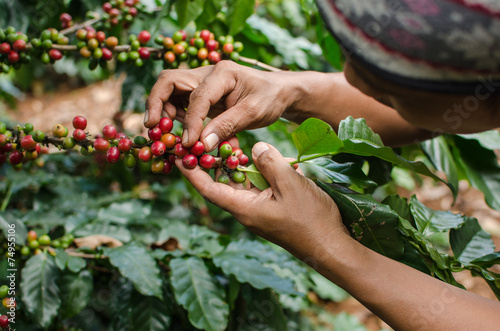 Photo arabica coffee berries with agriculturist hands