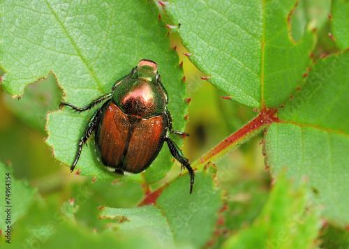 Japanese Beetle - Popillia japonica Poster