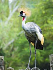 Beautiful Grey Crowned Crane bird
