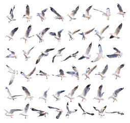 leteće akcije galeba izolirane na bijeloj